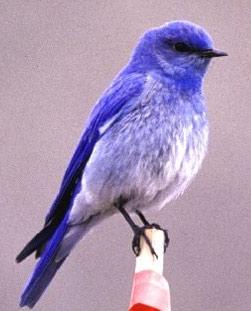 Pàjaros azules
